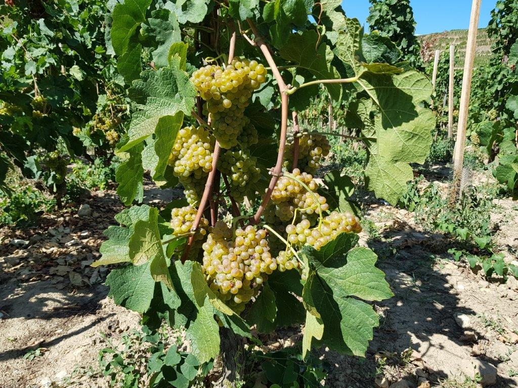 Rousanne grapes